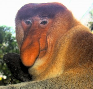 Portrait of a Proboscis Monkey by Bjørn Christian Tørrissen