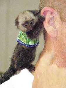 Pygmy Marmoset by <a href=